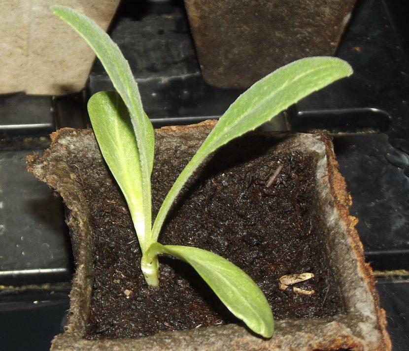 Как вырастить рассаду артишока 8